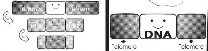 The Telomere getting shorter and shorter thereby stopping cell division in Tokyo Ghoul